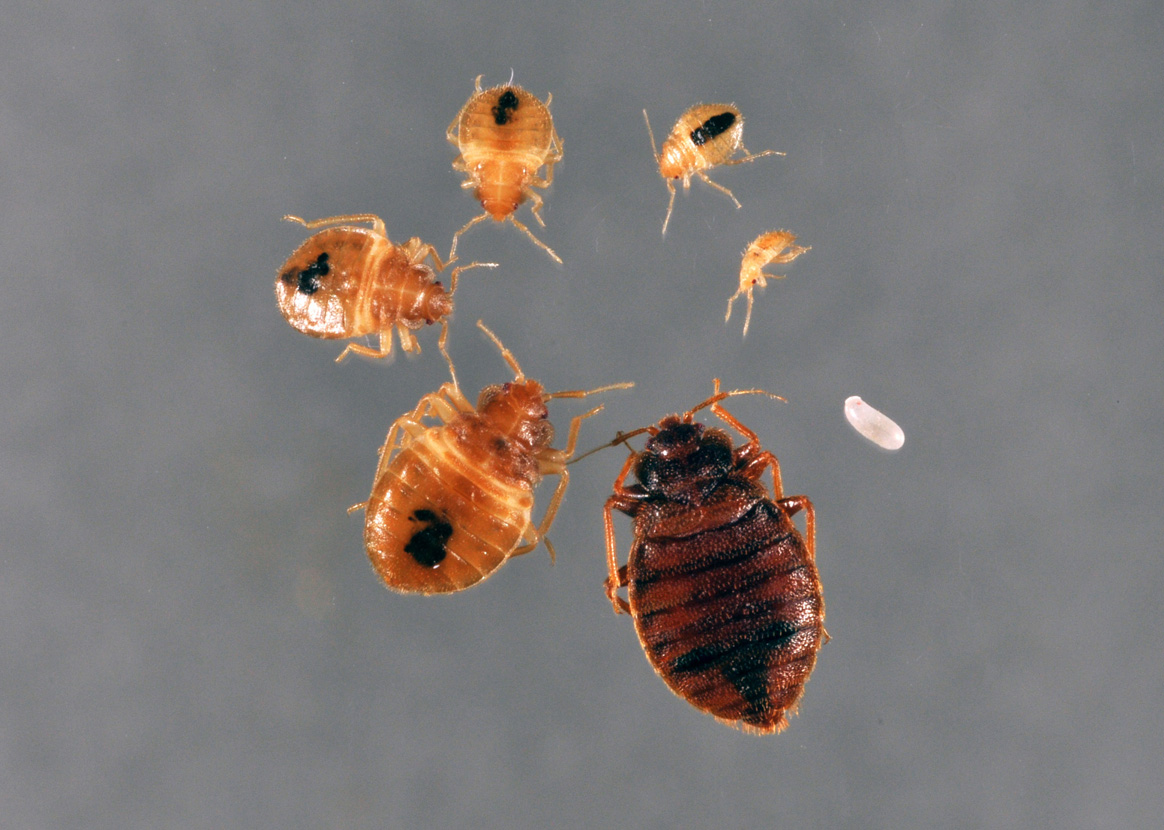 Are Bed Bugs Very Contagious